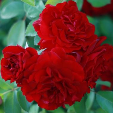 roos 'Rote Flamme'.jpg