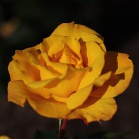 Peenraroos 'Goldmarie 82'