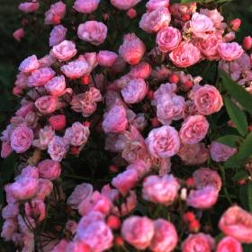 Peenraroos 'Heavenly Pink'